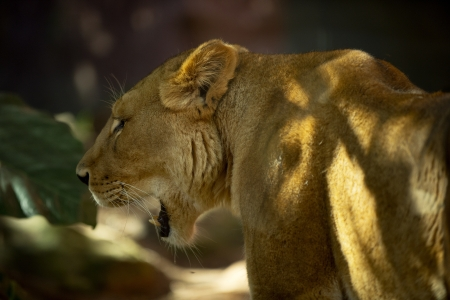 Lioness yawns at sunset