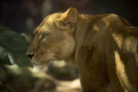 Beautiful lioness stroll in later afternoon Editorial