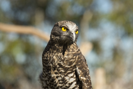 Powerful owl portrait