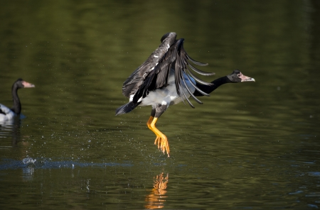 The large Magpie Goose takes off from water