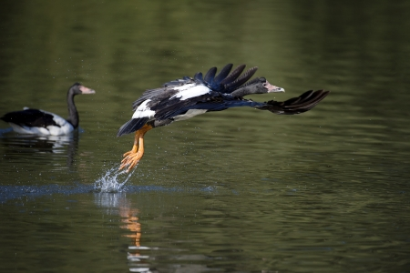 The large Magpie Goose takes off photo