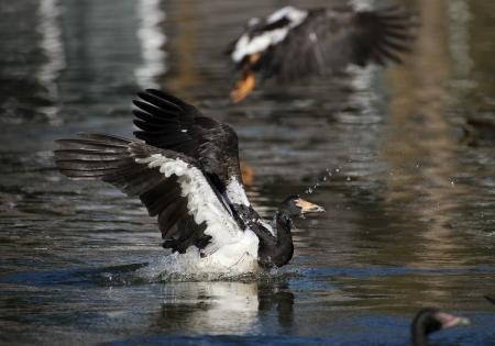 The large Magpie Goose lands with a splash Standard-Bild