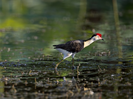 Comb Crested Jacana walking on water Stock Photo