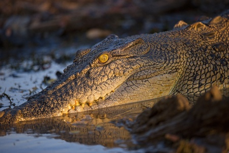 Salt water crocodile rests on the waters edge Standard-Bild