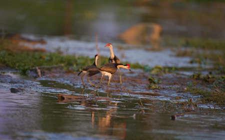 jacana: The comb-crested jacana bird Stock Photo