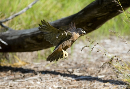 Peregrine Falcon coming into land