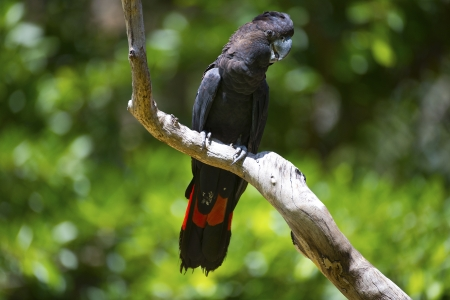The rare red tailed black cockatoo Stock Photo