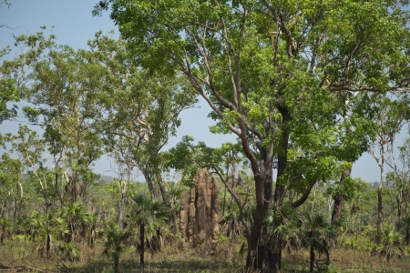 Termite Mound in the Australian bush at Litchfield National Park. photo
