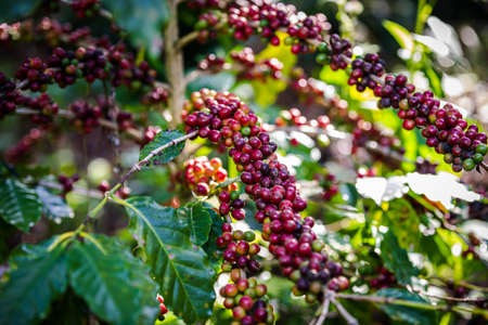 raw coffee beans red purple orange green pink and green leaves at Agricultural area on the mountain chiang rai Thailand