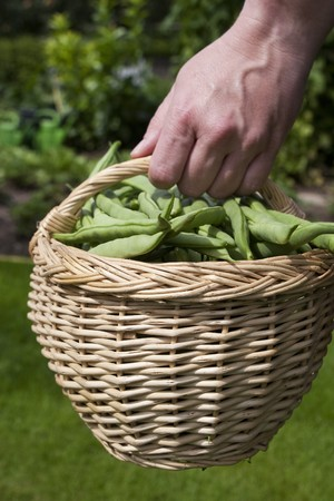 Harvest of beans in a basket photo