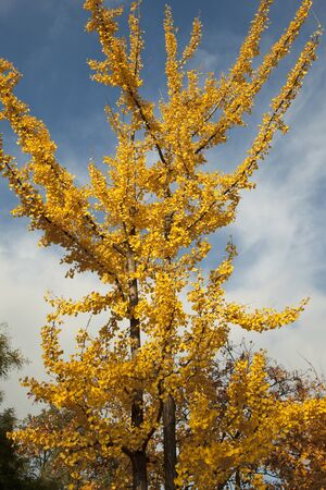 Ginkgo tree against a blue sky Stock Photo - 14966361