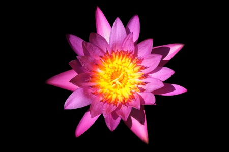A purple lotus flower isolated on black