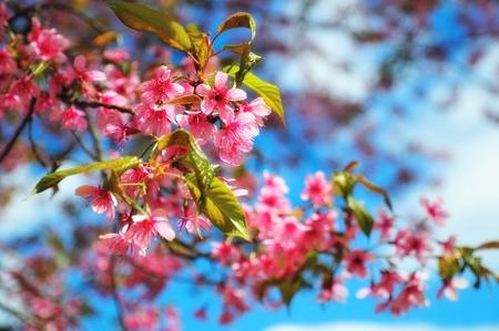 Beautiful pink sakura blossom