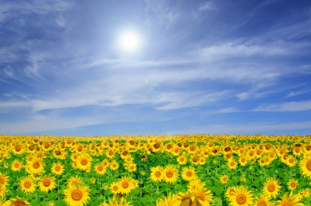 field of blooming sunflowers on a blue sky background photo