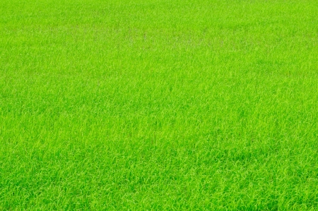 Young rice sprouts are growing in the rice field photo
