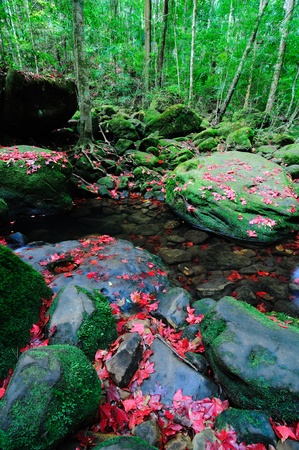 Maple leafs are fallen in Phu Kradueng National Park