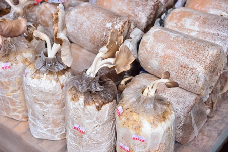inoculate: Close up of organic mushroom bag ready for cultivation