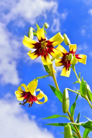 Yellow lilies against a blue sky photo