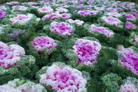 Purple ornamental cabbage background Stock Photo