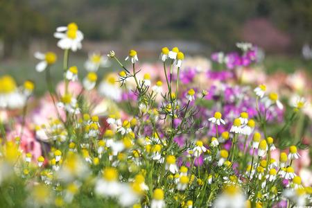 Flowers field in Chiangmai