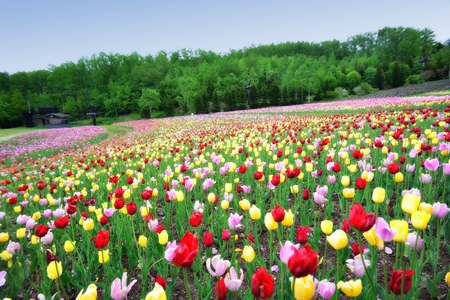 tulips in spring colorful tulips Stock Photo
