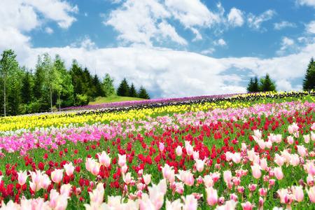 tulpen in de lente kleurrijke tulpen Stockfoto