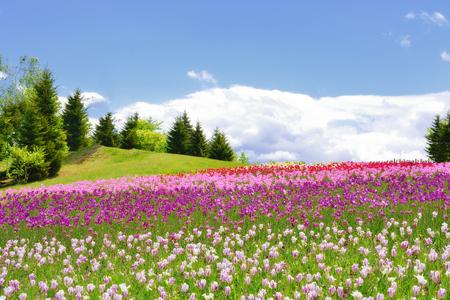 tulips in spring, colorful tulips at Hokkaido, Japan 免版税图像