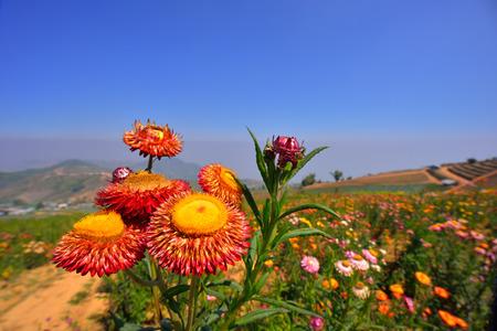 p�querette: Gros plan des fleurs de paille sous le ciel bleu Banque d'images