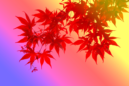 colorful red maple leaf