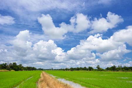 beautiful green rice field in vibrant meadow under white cloud on blue sky Stock Photo