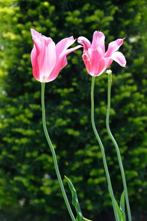 Twin colorful tulips in Hokkaido, Japan