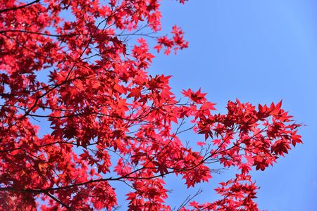 Japanese red maple leaf with blue sky background