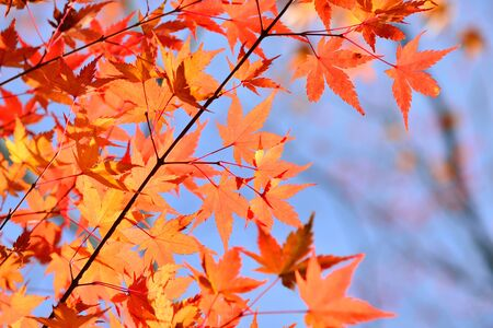 Japanese red maple leaf with blue sky background at autumn