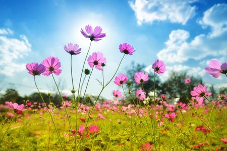 The cosmos flowers under sun Stock Photo