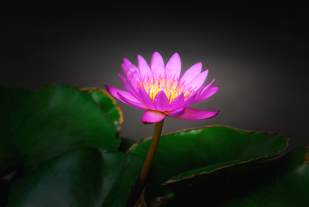 Pink lotus flower with yellow pollen