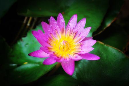 Pink lotus flower with dark background Stock Photo