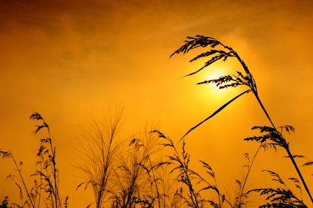 silhouette of grass Stock Photo