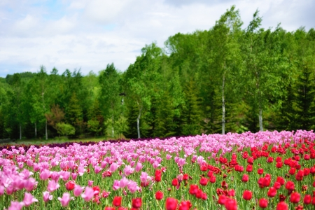 tulips in spring, colorful tulips Stock Photo