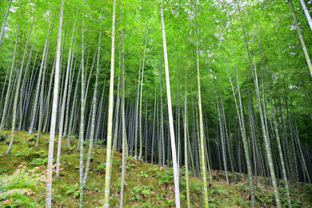 Green Japanese bamboo forest on hill
