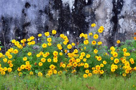 Marigold flowers in front of old wall background