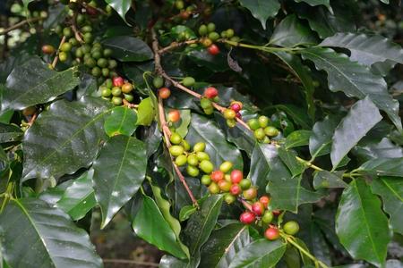 Coffee bean on branch Stock Photo