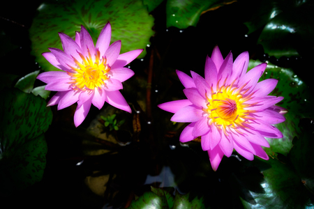Twin pink lotus flower on vignette background Stock Photo