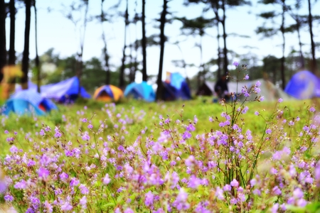 Flower field and background of blurry camping tents at Phu SOI DAO National Park