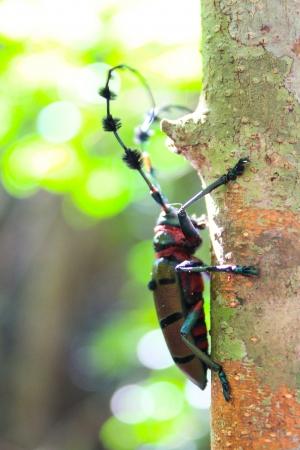 longhorn beetle: longhorn beetle against black background - saperda carcharias