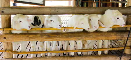 penned: sheep is trying to go out from the cage at farm in Ratchburee of Thailand Stock Photo