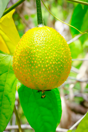 estate: Gac fruit, Baby Jackfruit, Spiny Bitter Gourd, Sweet Grourd or Cochinchin Gourd on plant