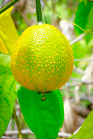 Gac fruit, Baby Jackfruit, Spiny Bitter Gourd, Sweet Grourd or Cochinchin Gourd on plant