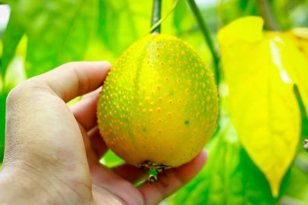 Gac fruit, Baby Jackfruit, Spiny Bitter Gourd, Sweet Grourd or Cochinchin Gourd in hand