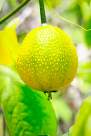 Gac fruit, Baby Jackfruit, Spiny Bitter Gourd, Sweet Grourd or Cochinchin Gourd in hand