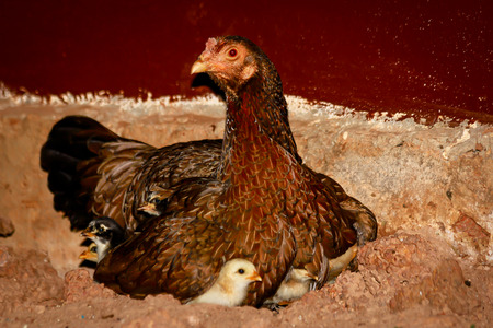 chicks: Mother Hen and Protecting Chicks Stock Photo